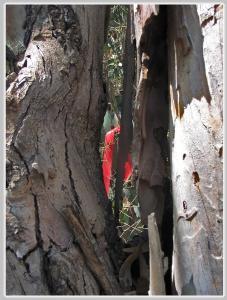 אשר גיבל, סרט אדום לכריתת עצים ביער אוסישקין